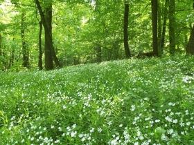 Runo leśne w maju