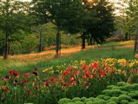 Arboretum Wojsławice - Czereśniowy sad z liliowcami o poranku_TN