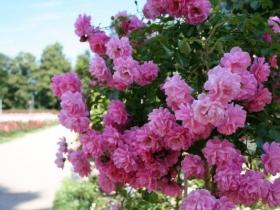 Ogród Różany w Szczecinie